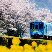 桜(サクラ)南河内