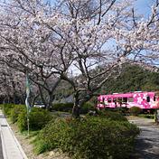 桜(サクラ)北河内