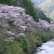 桜(サクラ)南桑