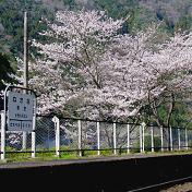 桜(サクラ)根笠