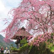 桜(サクラ)深竜寺