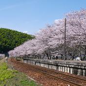 桜(サクラ)御庄